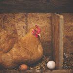 Les astuces pour élever une poule pondeuse