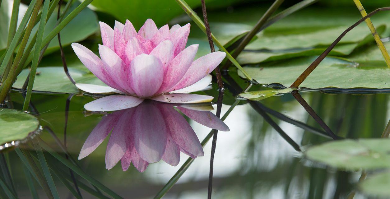 Comment choisir un tatouage fleur de lotus selon ses significations ?