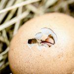 Quels sont les animaux qui pondent des œufs ?